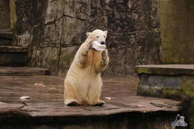 Eisbär Fiete im Zoo Rostock 12.03.2016   040