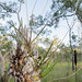 Dendrobium canaliculatum by macca jay
