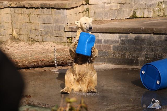 Eisbär Fiete im Zoo Rostock 20.03.2016  0136