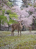 Nara Deer with Cherry Blossom