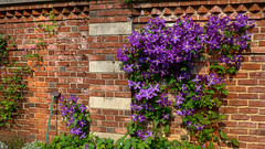 Purple Clematis Climbs the Walled Garden