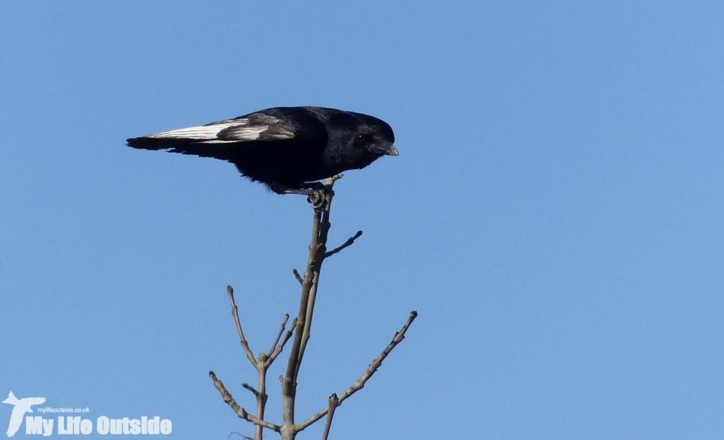 P1000827 - Leucistic Crow