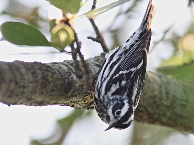 Black-and-White Warbler 08-20160414