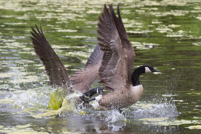 Canada Geese 4-30-2016-2