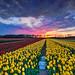 Noordwijkerhout Tulip Yellow