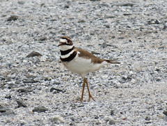 killdeer on ground