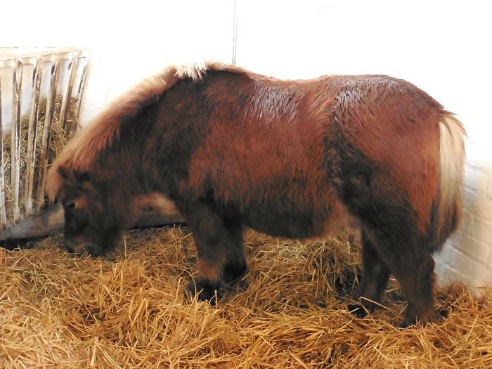 Chesnut Pit Pony