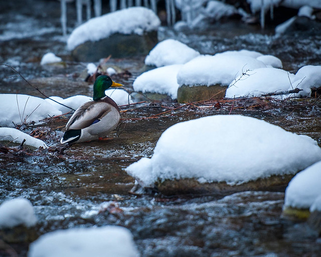 Mallard in Whiteman Creek