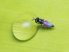 Grass fly