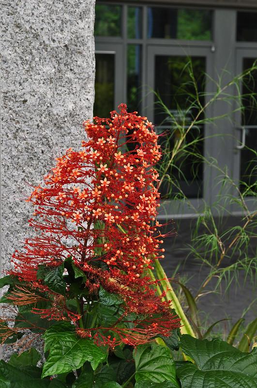 Baker Terrace - Clerodendrum paniculatum 'Firefly' (1)