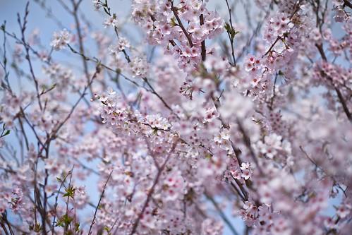 有帆川の桜 01