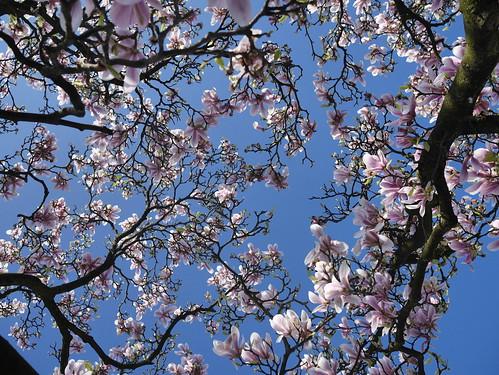 Magnolia sp.