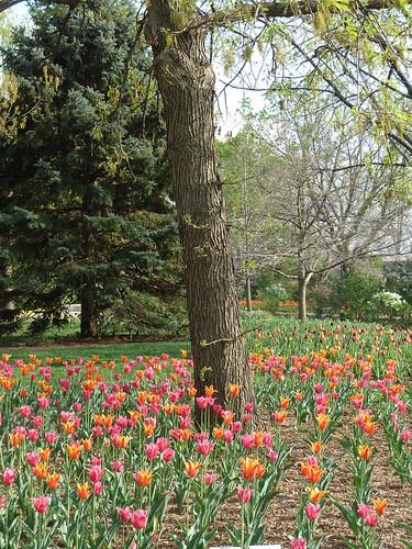 flowers trees plants nature garden landscape spring flora tulips blossoms blooms lilaciapark lombardil