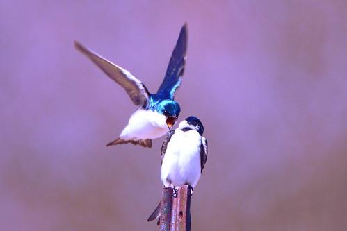 mckenziemarsh tree swallow treeswallow birdinflight flight