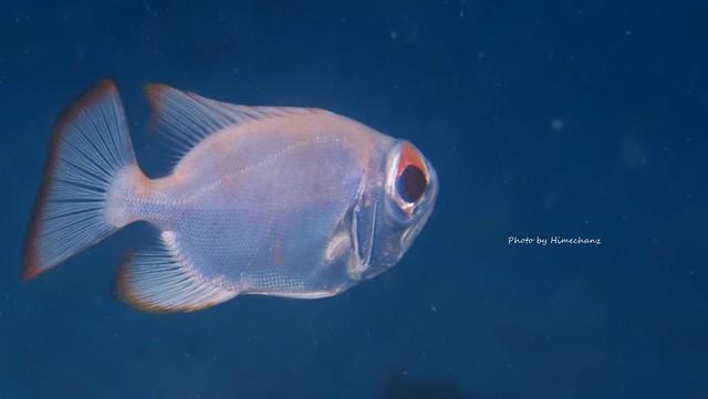 ホウセキキントキ幼魚、なんかカワイイw