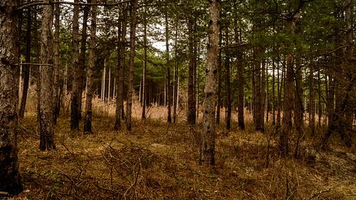 trees winter nature pine forest landscape walk