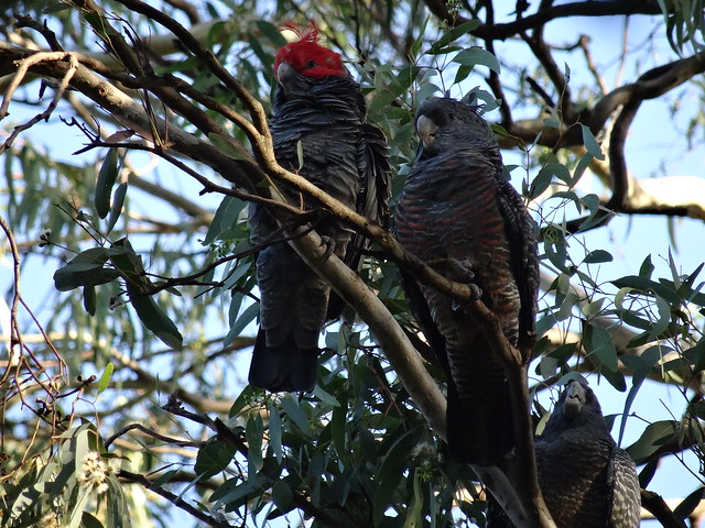 Male ( red crest ) and female Gang Gang Cokatoos
