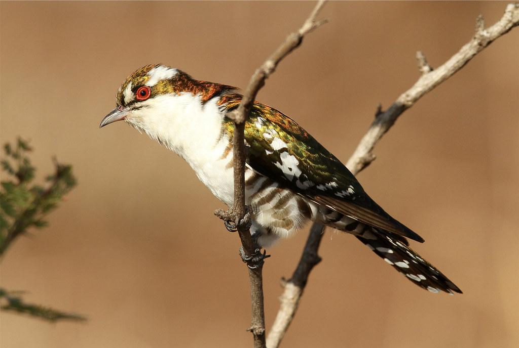 Chrysococcyx caprius ♂ (Diderik Cuckoo)