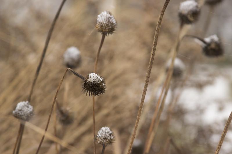 snowy echinacea 2