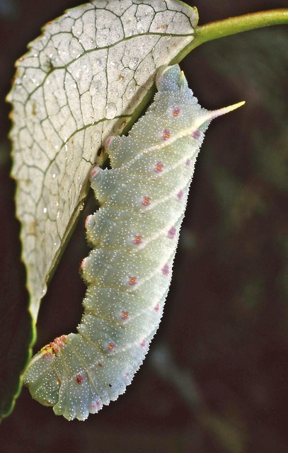 Poplar Hawkmoth larva Laothoe populi.