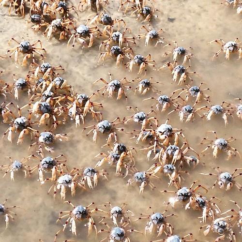 Soldier Crabs on Whitehaven Beach