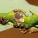 Late Instar Prominent Moth Caterpillar (Harpyia microsticta, Notodontidae)