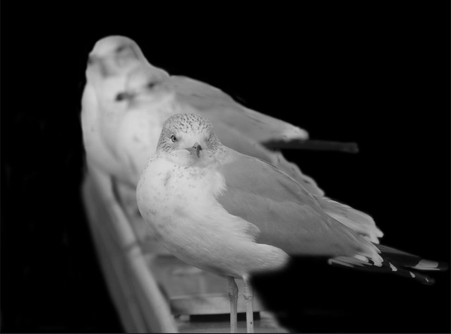 vg-gulls-2