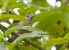 Fasciated Antshrike (Cymbilaimus lineatus)