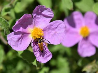 Beatle in violet