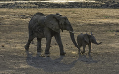 Time To Go - African Elephants