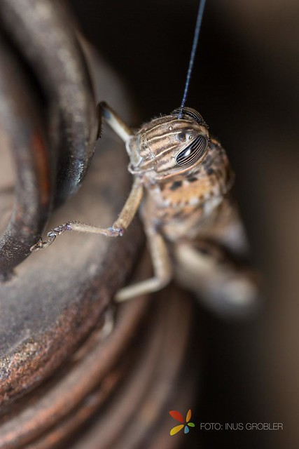 A Grasshopper on Stair Railings - How to Take Macro Pictures with a Speedlite