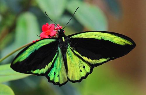 Green Birdwing? (Ornithoptera Priamus poseidon / teucrus)
