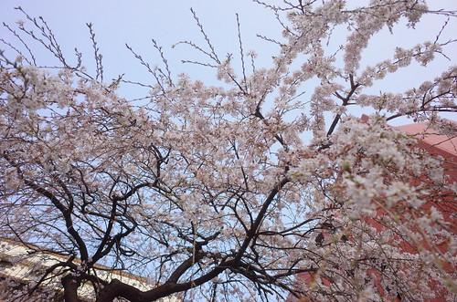 Weeping cherry (Shidare Sakura) blooming at Nihonbashi 04