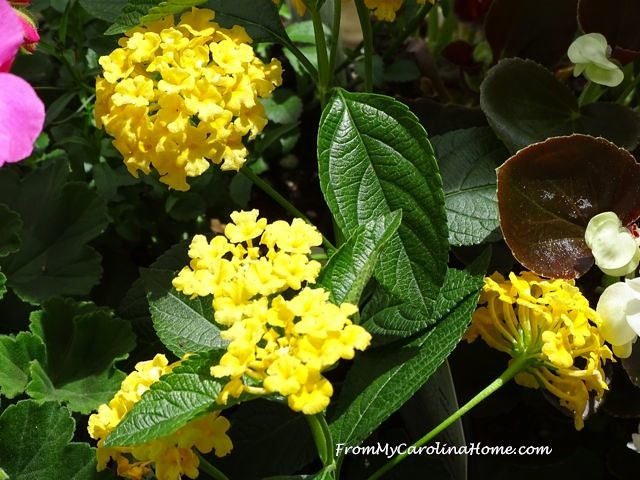 yellow and purple lantana hosta from my carolina home