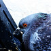Pigeon Eye by Honey Clicks
