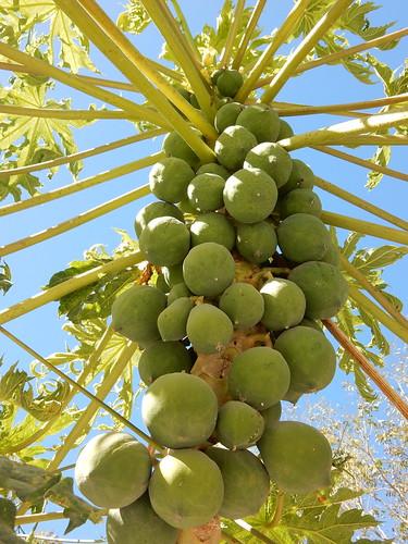San Blas - La Contaduria - fruitboom