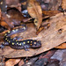 Small photo of Spotted Salamander, Ambystoma maculatum