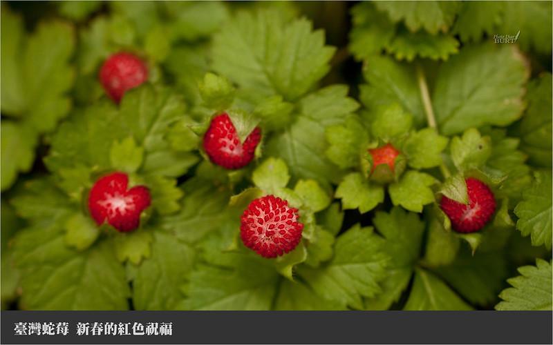 001臺灣蛇莓