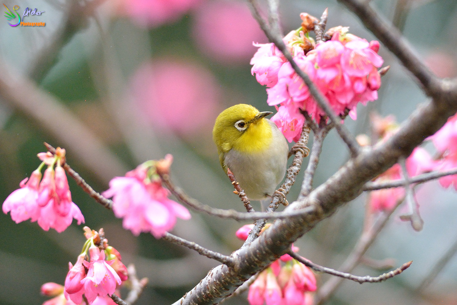 Sakura_White-eye_5789