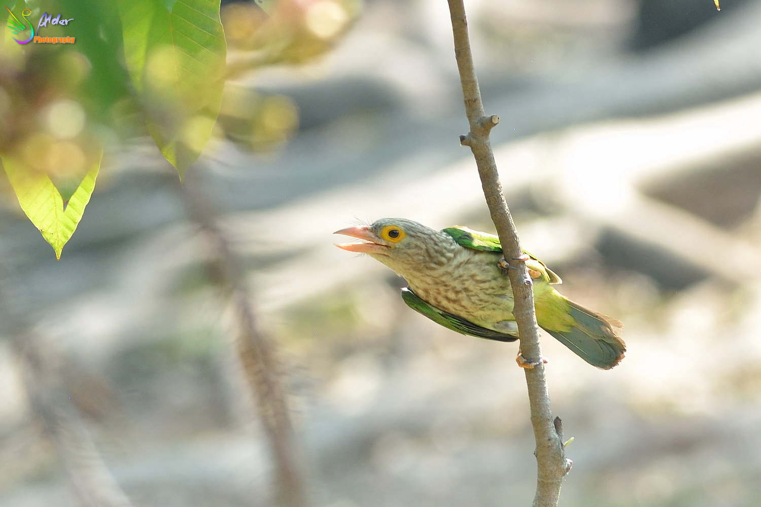 Lineated_Barbet_9438