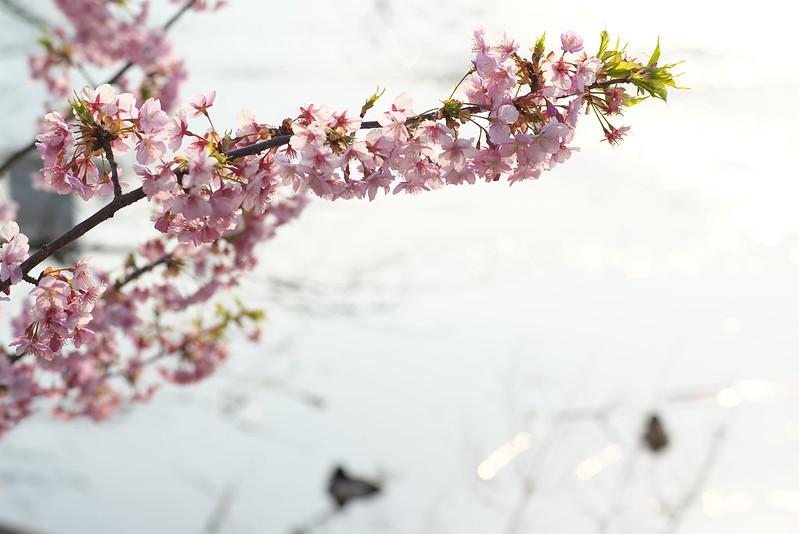 不忍池の畔の河津桜 東京路地裏散歩 2016年2月28日