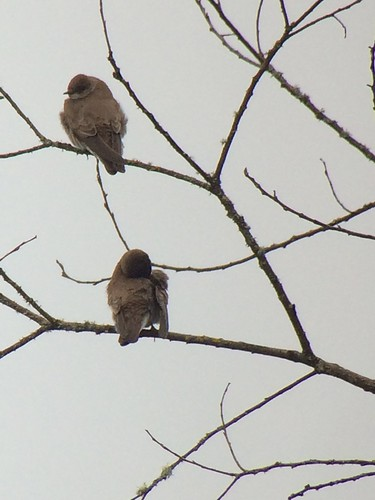 Northern Rough-winged Swallow.