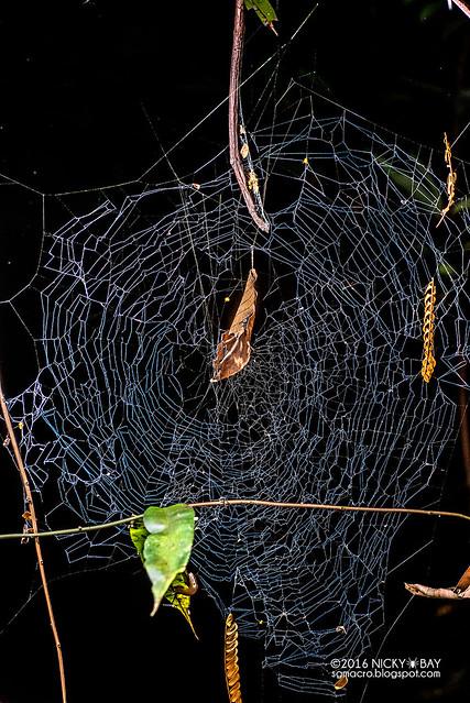 Pseudo orb weaver spider (Fecenia sp.) - DSC_5634