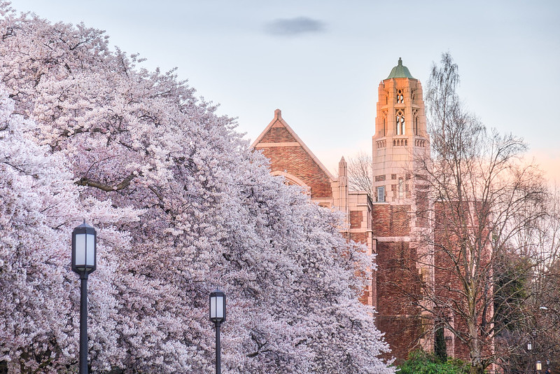 UW Cherry Blossoms 2016