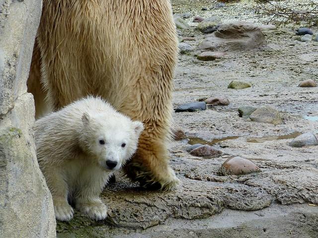 Polar Bear Cub Lili