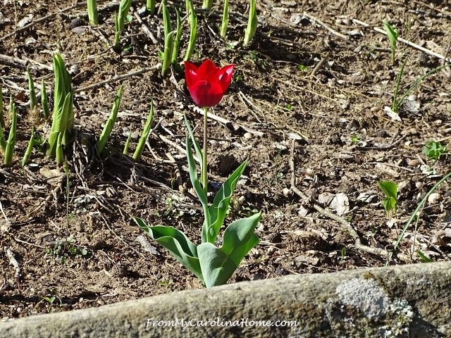 April Red Tulip