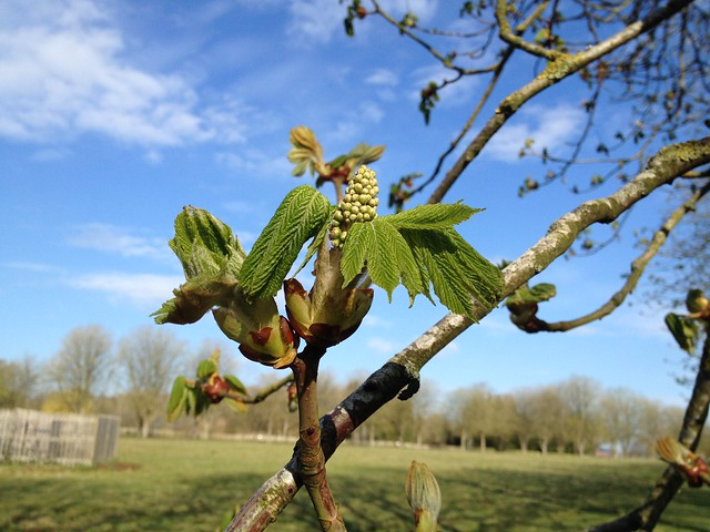 Spring: Horse chestnut bud burst