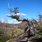 Sa, 26.12.15 - 15:29 - Patagoniens Bäume geben wirklich NIE auf!!