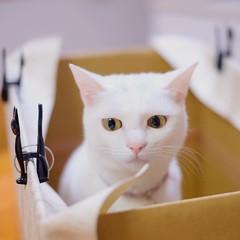 棚に入れる箱作り中。 あのーそろそろ出てもらえませんかー? . . . #nekomikan #みかん #しろねこ #白猫 #whitecat #箱猫 #箱づくり #白木柄の壁紙を段ボールに貼り付けてます