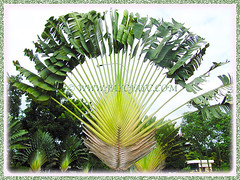 Ravenala madagascariensis (Traveller's Palm, Traveller's Tree) in our neighbourhood, Dec 28 2013